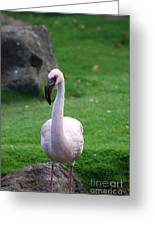 Carribean Pink Flamingo Greeting Card
