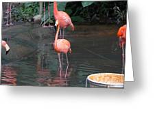 Cartoon - A Flamingo In The Small Lake In Their Exhibit In The Jurong Bird Park Greeting Card
