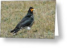 Carunculated Caracara Greeting Card
