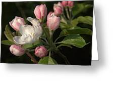 Cascade Of Apple Blossoms Greeting Card