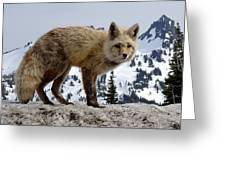 Cascade Red Fox 1 Greeting Card