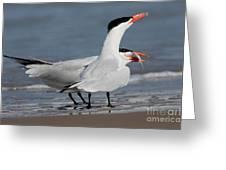 Caspian Tern Giving Fish To Mate Greeting Card