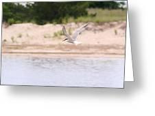 Caspian Tern Greeting Card