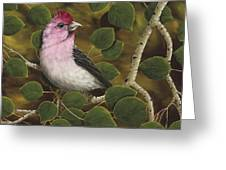 Cassins Finch Greeting Card