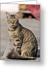 Cat In Aegina Island Greeting Card