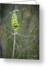 Caterpillar On Fennel In The Morning Dew Greeting Card