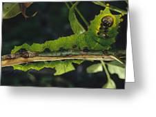 Caterpillar Tam Dao Np Vietnam Greeting Card