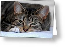 Cats 61 Greeting Card