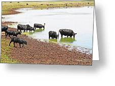 Cattle At Big Lake Arizona Greeting Card