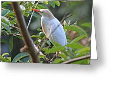 Cattle Egret 1 Greeting Card