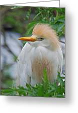 Cattle Egret Greeting Card by Skip Willits