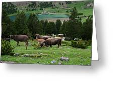 Cattle Grazing In The Pyrenees Greeting Card