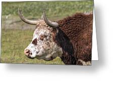 Cattle With Horns Side Portrait Greeting Card