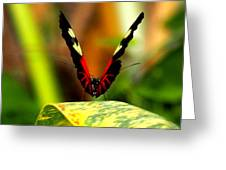 Cattleheart Butterfly  Greeting Card
