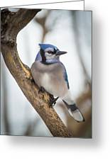 Cautious Blue Jay Greeting Card