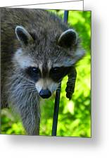 Cautious Coon Greeting Card