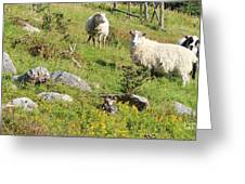 Cautious Sheep In The Pasture Greeting Card