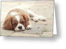 Cavalier Puppy Greeting Card