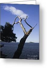 Cavtat Tree Greeting Card