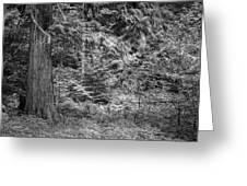 Cedar Along The Trail Of Cedars Glacier National Park Bw Greeting Card