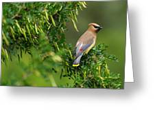 Cedar Waxwing 3 Greeting Card