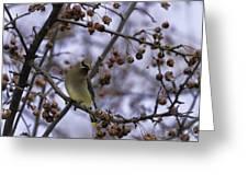 Cedar Waxwing Eating Berries 11 Greeting Card