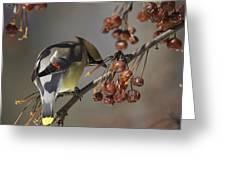 Cedar Waxwing Eating Berries 7 Greeting Card