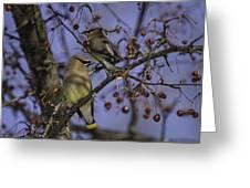 Cedar Waxwing Eating Berries 9 Greeting Card