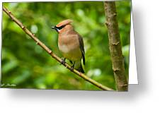 Cedar Waxwing Gathering Nesting Material Greeting Card