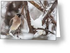 Cedar Waxwing In Winter Greeting Card