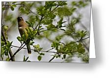 Cedar Waxwing Pictures 15 Greeting Card