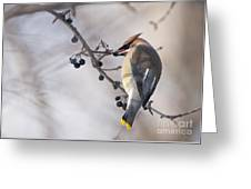 Cedar Waxwing Pictures 30 Greeting Card
