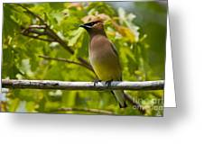 Cedar Waxwing Pictures 38 Greeting Card