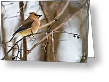 Cedar Waxwing Pictures 52 Greeting Card