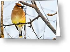 Cedar Waxwing Pictures 53 Greeting Card