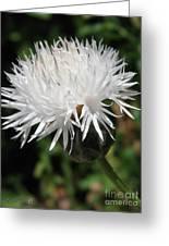 Centaurea Named The Bride Greeting Card