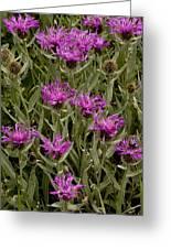 Centaurea Uniflora Ssp. Uniflora Greeting Card