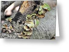 Violet-toothed Polypore Greeting Card