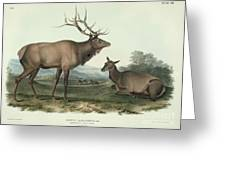 Cervus Canadensis Greeting Card by Celestial Images