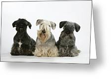 Cesky Terrier Dogs Greeting Card