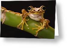 Chachi Tree Frog Ecuador Greeting Card