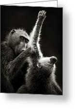 Chacma Baboons Grooming Greeting Card