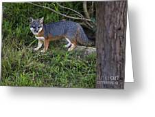 Channel Island Fox Greeting Card