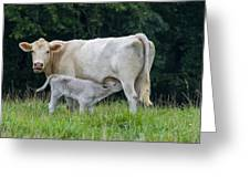 Charolais Cattle Nursing Young Greeting Card