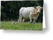 Charolais Cow And Calf In Field Greeting Card