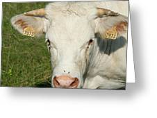 Charolais Cow Greeting Card