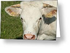 Charolais Cow Greeting Card
