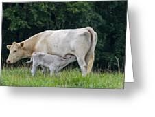 Charolais Cow Nursing Calf Greeting Card