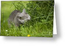 Chartreux Cat And Grass Greeting Card