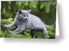 Chartreux Kitten Greeting Card